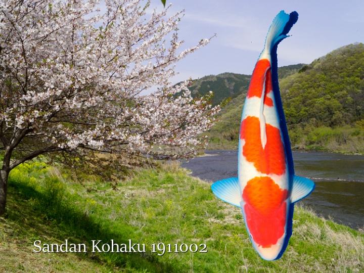 Een sandan kohaku van Momotaro