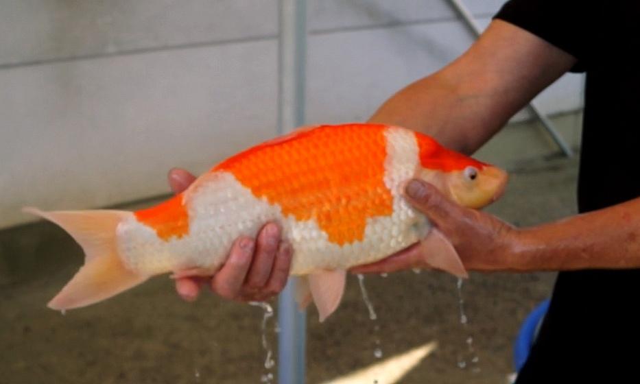 De groeivijver visjes