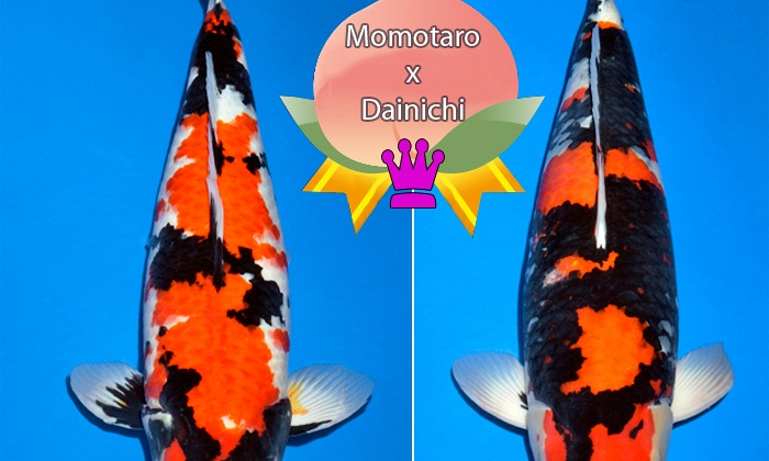 Duo Dainichi achtige showa