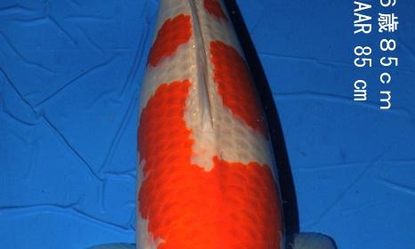 Hakubotan 6 jaar - 85 cm