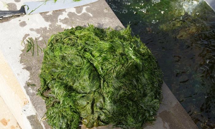 Het gevreesde woord: algen
