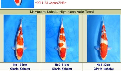 Momotaro Mannelijke Tosai Ginrin Kohaku