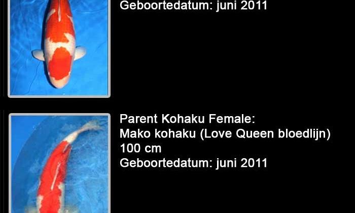 Momotaro veiling 19-20 februari - Mannelijke Kohaku