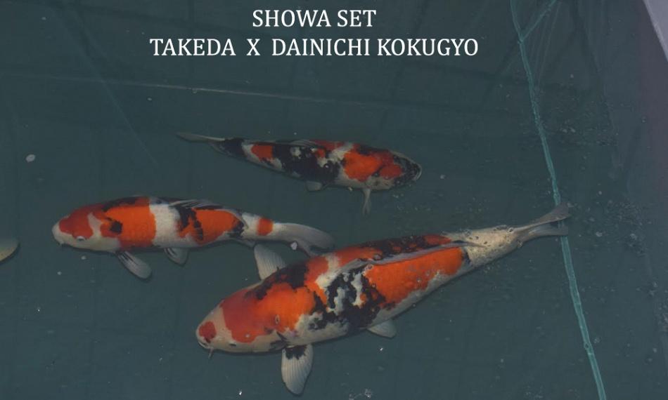 Prijsstelling voor de Taniguchi koi 2016