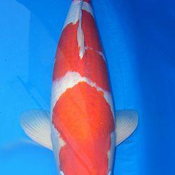 De eerste kohaku via opbod: afbeelding 3