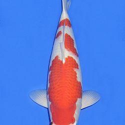 De Mako Kohaku: afbeelding 5