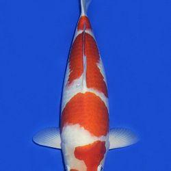 De Mako Kohaku: afbeelding 6