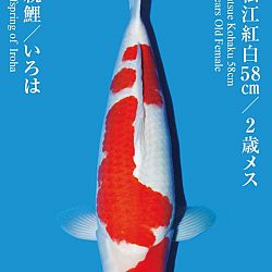 De Tategoi Kai: afbeelding 6