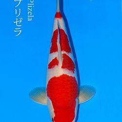 De veiling van Sakai: afbeelding 7