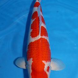 Een kohaku die je doet duizelen: afbeelding 1
