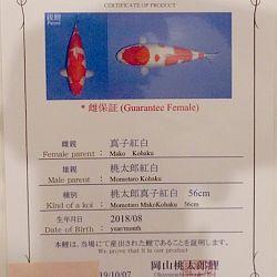 Een kohaku met een doel: afbeelding 1