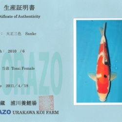 Een sanke en 2 kohaku: afbeelding 1