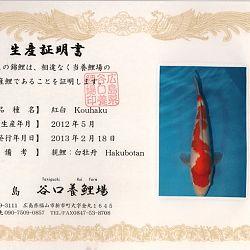 Hakubotan 6 jaar - 85 cm: afbeelding 1