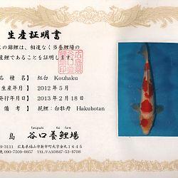 Hakubotan 6 jaar - 85 cm: afbeelding 2