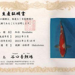 Hakubotan 6 jaar - 85 cm: afbeelding 3