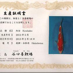 Hakubotan 6 jaar - 85 cm: afbeelding 4