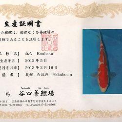 Hakubotan 6 jaar - 85 cm: afbeelding 5