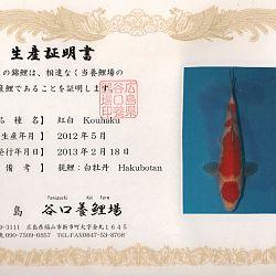 Hakubotan 6 jaar - 85 cm: afbeelding 6