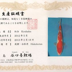 Hakubotan 6 jaar - 85 cm: afbeelding 7
