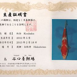 Hakubotan 6 jaar - 85 cm: afbeelding 8