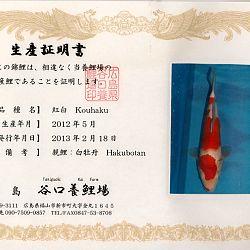 Hakubotan 6 jaar - 85 cm: afbeelding 9