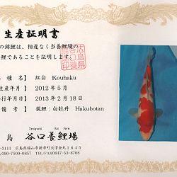 Hakubotan 6 jaar - 85 cm: afbeelding 10