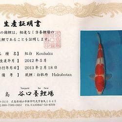 Hakubotan 6 jaar - 85 cm: afbeelding 11