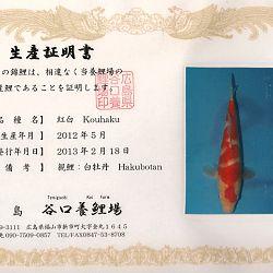 Hakubotan 6 jaar - 85 cm: afbeelding 12
