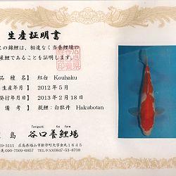 Hakubotan 6 jaar - 85 cm: afbeelding 13
