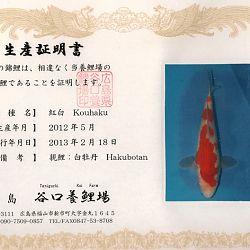 Hakubotan 6 jaar - 85 cm: afbeelding 14