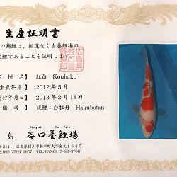 Hakubotan 6 jaar - 85 cm: afbeelding 15