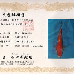 Hakubotan 6 jaar - 85 cm: afbeelding 16