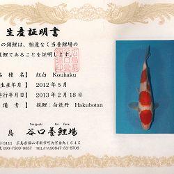 Hakubotan 6 jaar - 85 cm: afbeelding 17