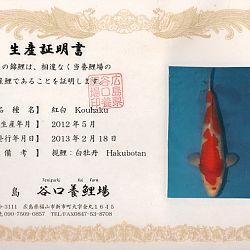 Hakubotan 6 jaar - 85 cm: afbeelding 18