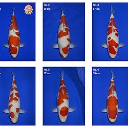Momotaro auction 17 februari: afbeelding 1