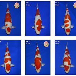 Momotaro auction 17 februari: afbeelding 2
