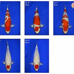 Momotaro auction 17 februari: afbeelding 4
