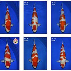 Momotaro auction 17 februari: afbeelding 7