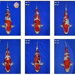 Momotaro auction 17 februari - Sanke: afbeelding 8