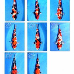 Momotaro Tosai Showa: afbeelding 3