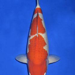Momotaro veiling 14-15 december: afbeelding 3