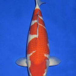 Momotaro veiling 14-15 december: afbeelding 4