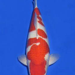 Momotaro veiling 14-15 december: afbeelding 7