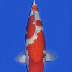 Momotaro veiling 14-15 december: afbeelding 9