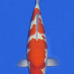 Momotaro veiling 14-15 december: afbeelding 10
