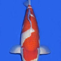 Momotaro veiling 14-15 december: afbeelding 11