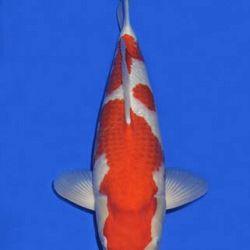 Momotaro veiling 14-15 december: afbeelding 13