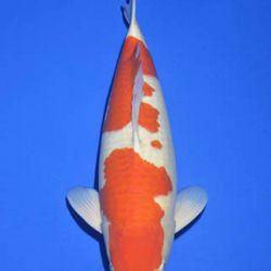 Momotaro veiling 14-15 december: afbeelding 17