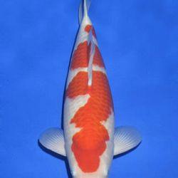 Momotaro veiling 14-15 december: afbeelding 19