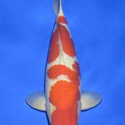 Momotaro veiling 14-15 december: afbeelding 20